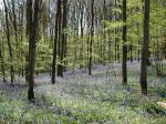 English Bluebells April 11